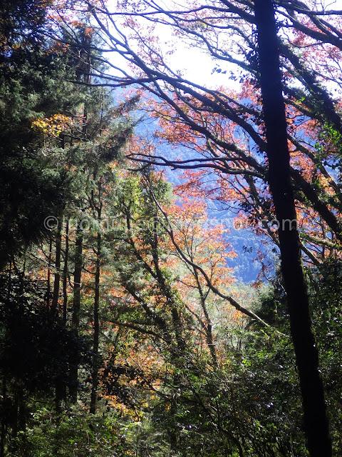 Alishan maple autumn foliage