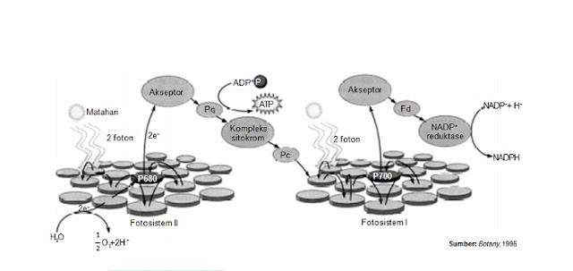 Anabolisme Karbohidrat