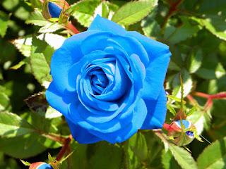 benih-mawar-biru.jpg