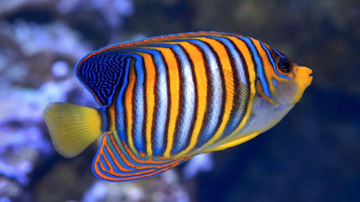 angelfish diseases pictures