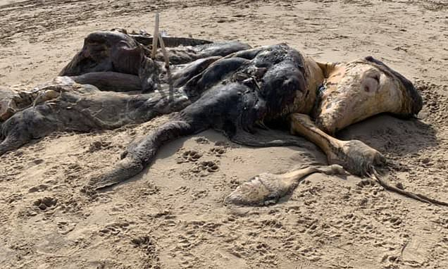 """Criatura muy extraña, de 15 pies con """"aletas"""" y """"pelaje"""" llega arrastrada a orilla de playa británica"""