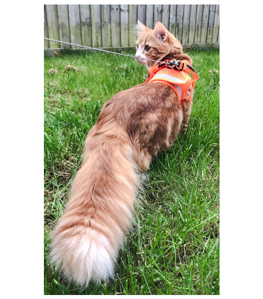 Ginger tabby Maine Coon with huge plumed tail outside on leash