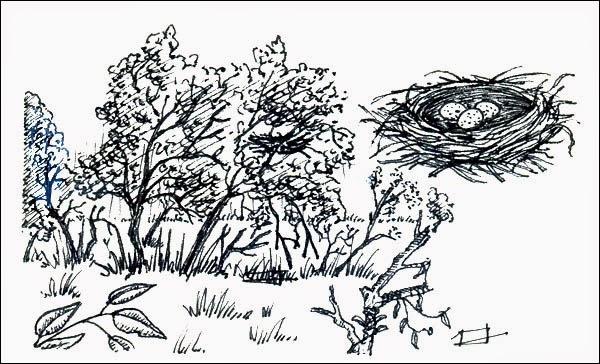 nido de Chiricote Aramides cajanea