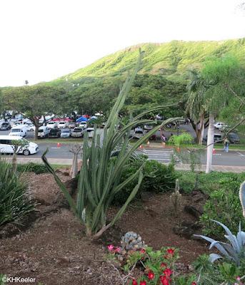 Kapi'olani Community College cactus garden, weeded
