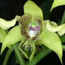 Anggrek zamrud (dendrobium macrophyllum)