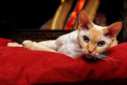 Jenis Kucing Devon Rex