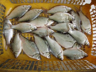 cara umum budidaya ikan nilem,nilem mangut,ikan patin,di kolam terpal,di kolam beton,lele,nila,patin agar cepat besar,