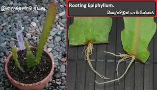 Rooting Epiphyllum