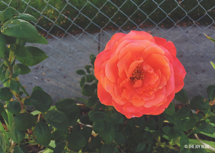 Coral Rose // Garden Update: September 2018 // www.thejoyblog.net