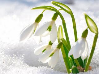 цветущий подснежник пробивается через снег
