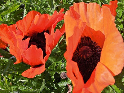 Large orange poppies