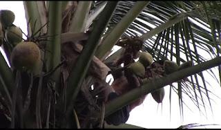 proses mengiris manggar bunga kelapa