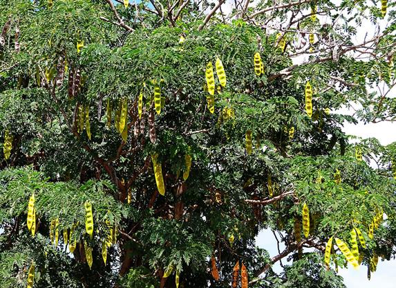 Allelochemicals - Leguminoseae (legume) family produces lectins