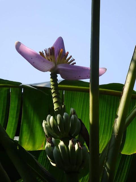 Bananeira-de-Jardim