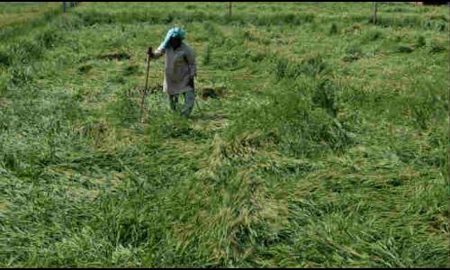 आंधी - पानी से फसलों को नुकसान
