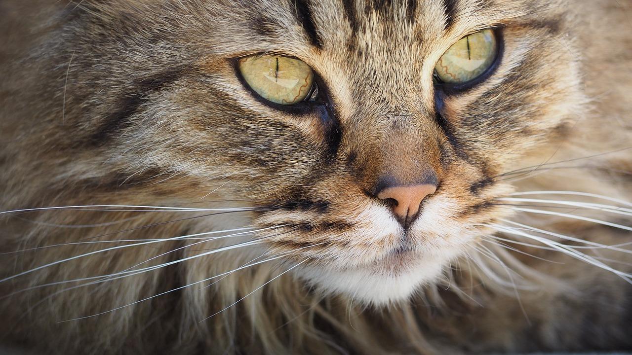 À quoi servent les moustaches de chat?