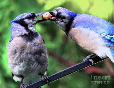 This is a screen shot of one of my images of Blue Jays which has been rendered on to special art paper and is available in different sizes via Fine Art America. https://fineartamerica.com/featured/blue-jays-wooing-2-patricia-youngquist.html?product=art-print