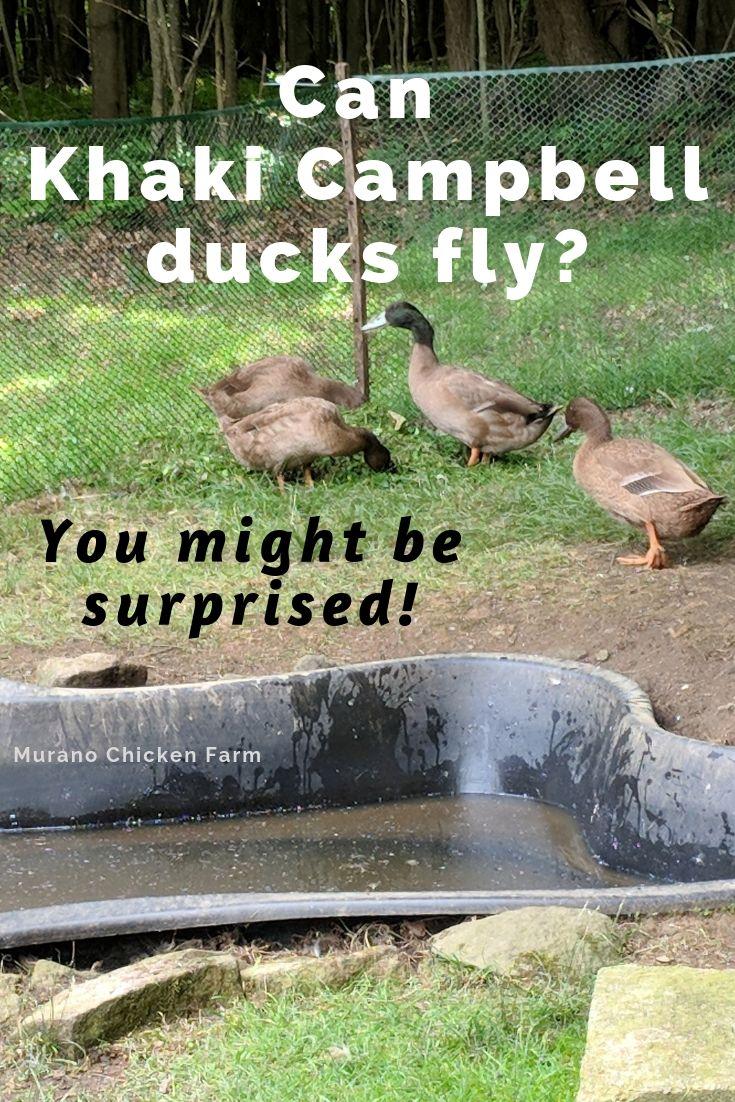 Khaki Campbell Ducks Can Fly Really Well Murano
