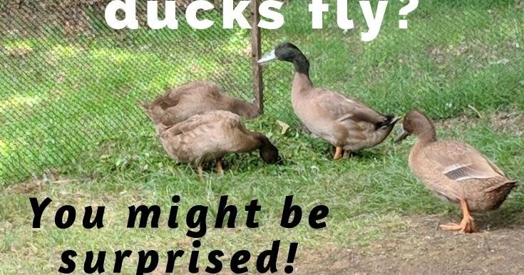 Khaki Campbell ducks can fly! (really well!) - Murano