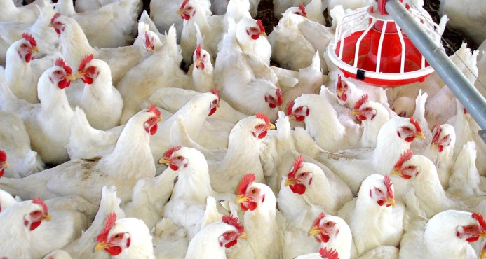 Garantizan a la población que puede consumir pollo tras confirmarse gripe aviar