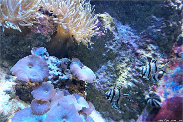 Living Corals: Cardenal Banggai
