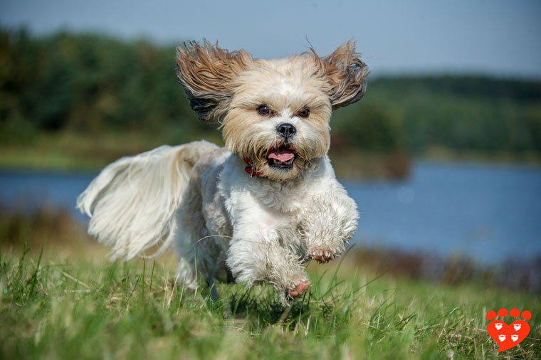 A happy Shih Tzu dog running by a pond