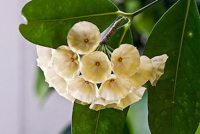 Flower Homes Hoya Flowers