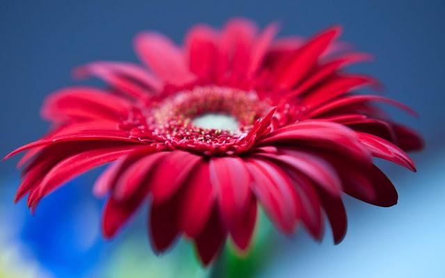 Papel de Parede Flor Vermelha, hd, 4k.