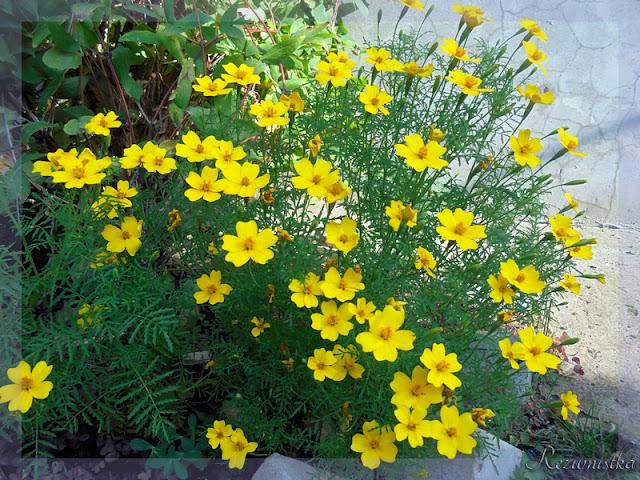 бархатцы жёлтого цвета