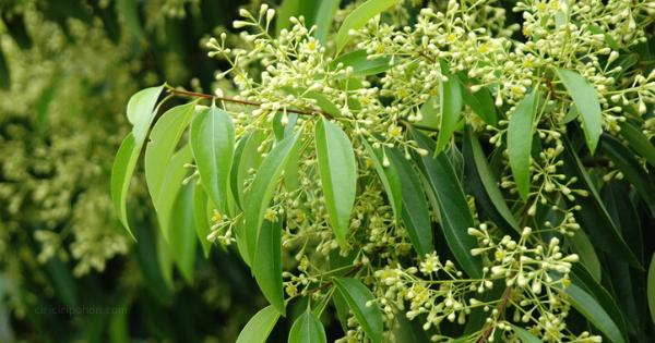 Pohon Kayu Manis