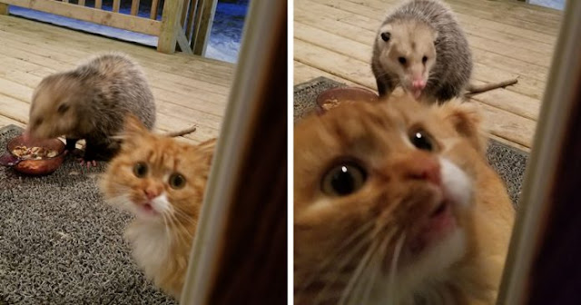 Precious Reactions Of A Cat When Her Food Was Stolen By A Possum