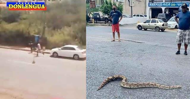 Abejas Africanas y serpientes Tragavenados se soltaron en Lechería