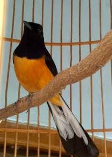 Burung Murai Batu - Tips Perawatan Mudah dan Butuh Telaten dan Kesabaran Untuk Perawatan Burung Murai Batu Muda Hutan - Penangkaran Burung Murai Batu