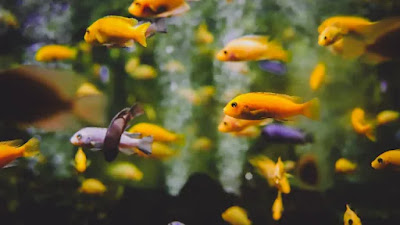 Jenis -Jenis Ikan Hias Yang Wajib di Miliki Untuk Di Pelihara Di Rumah