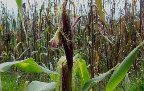 Alertan peligrosa mezcla del teosinte con maíz transgénico en España