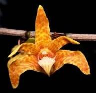 Dendrobium insigne
