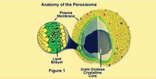 Pengertian Peroksisom Dan Glioksisom