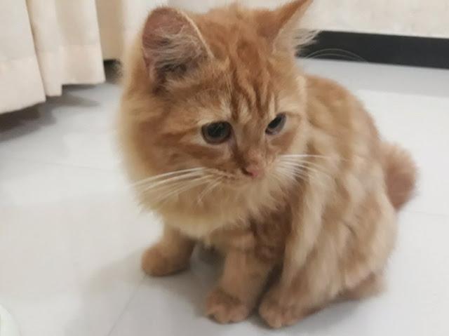 kucing anggora kitten