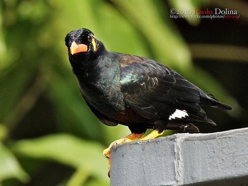 Susanto Wisata Hewan Unggas Burung Beo Nias
