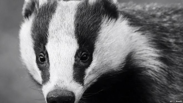 Badgers lead mammal roadkill list