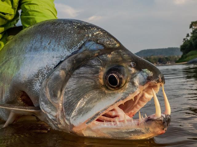 Mengenal Dengan Ikan Payara Si Ikan Bergigi Vampir