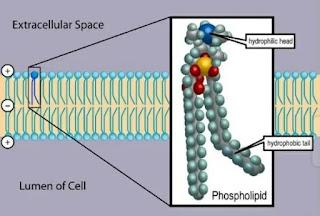 Fosfolipid - Definisi, Struktur dan Fungsi