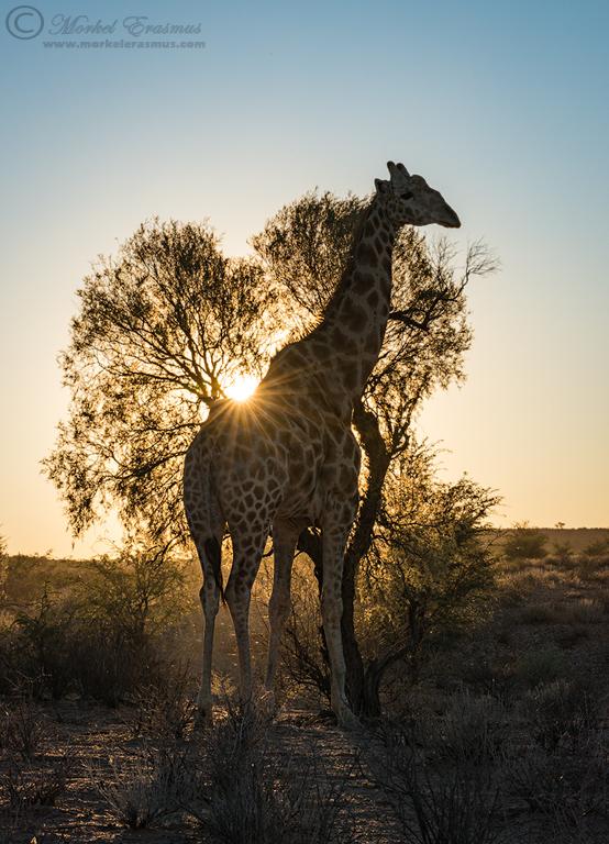 Giraffe Sunburst