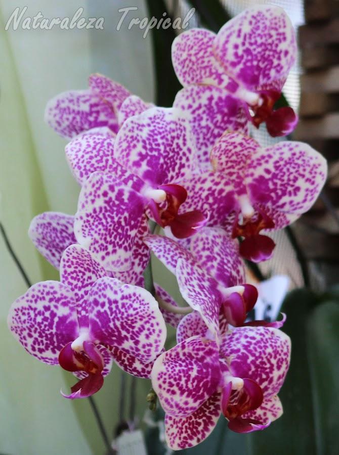 Pétalos y sépalos blancos fuertemente manchados de color púrpura con labelo rojo vino. Orquídea Mariposa (género Phalaenopsis)