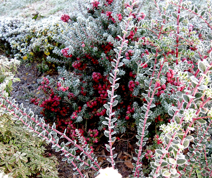 Pernettya.Roger Brook The No Dig Gardener Pernettya Harem The Acid Truth
