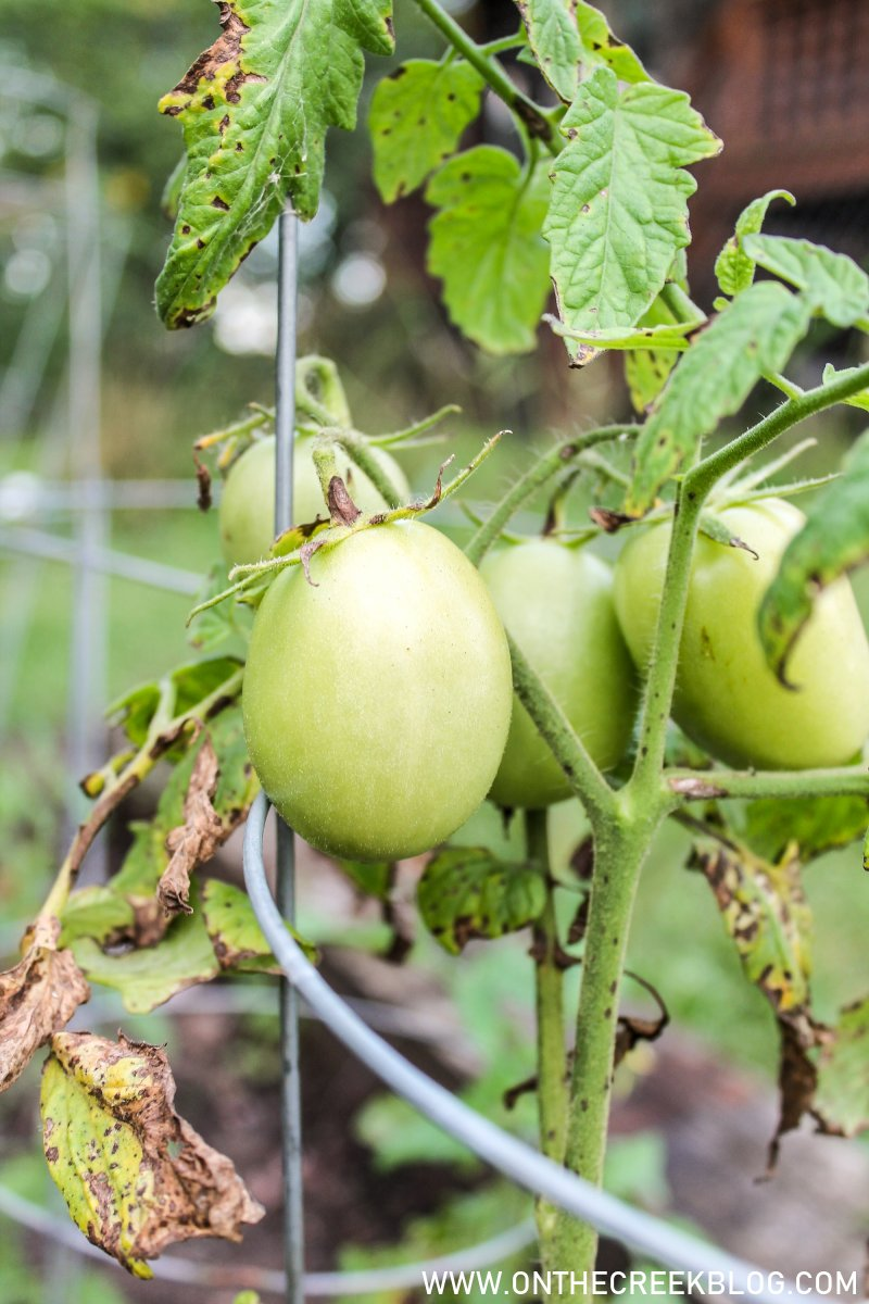 tomatoes growing in the garden | On The Creek Blog