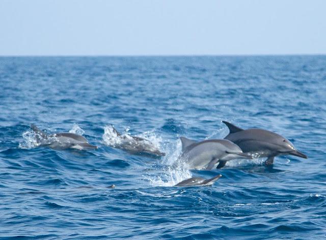 Dolphins in Kalpitiya