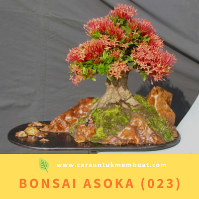 Bonsai Asoka (023)