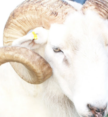 Wiltshire Horn Sheep Temperament, History, Characteristics, Wool,  Meat, Lambing