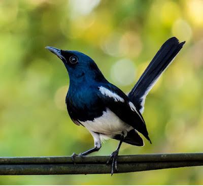 Burung  kacer jsalah satu enis burung kicau yang diperlombakan